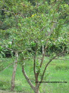 wildwhiteguava