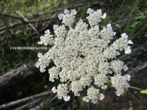 Lady lace wild carrot flowers coorg